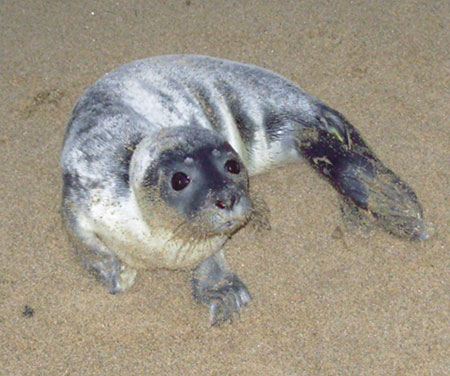 Baby Harbor Seals