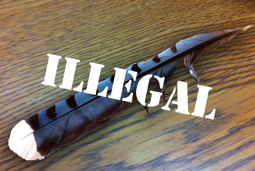 illegal blue jay feather